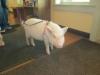 hammy-pig